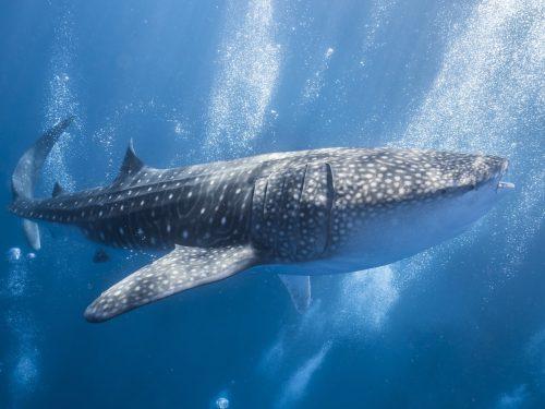 Swim with Whale Sharks in Puerto Princesa, Palawan