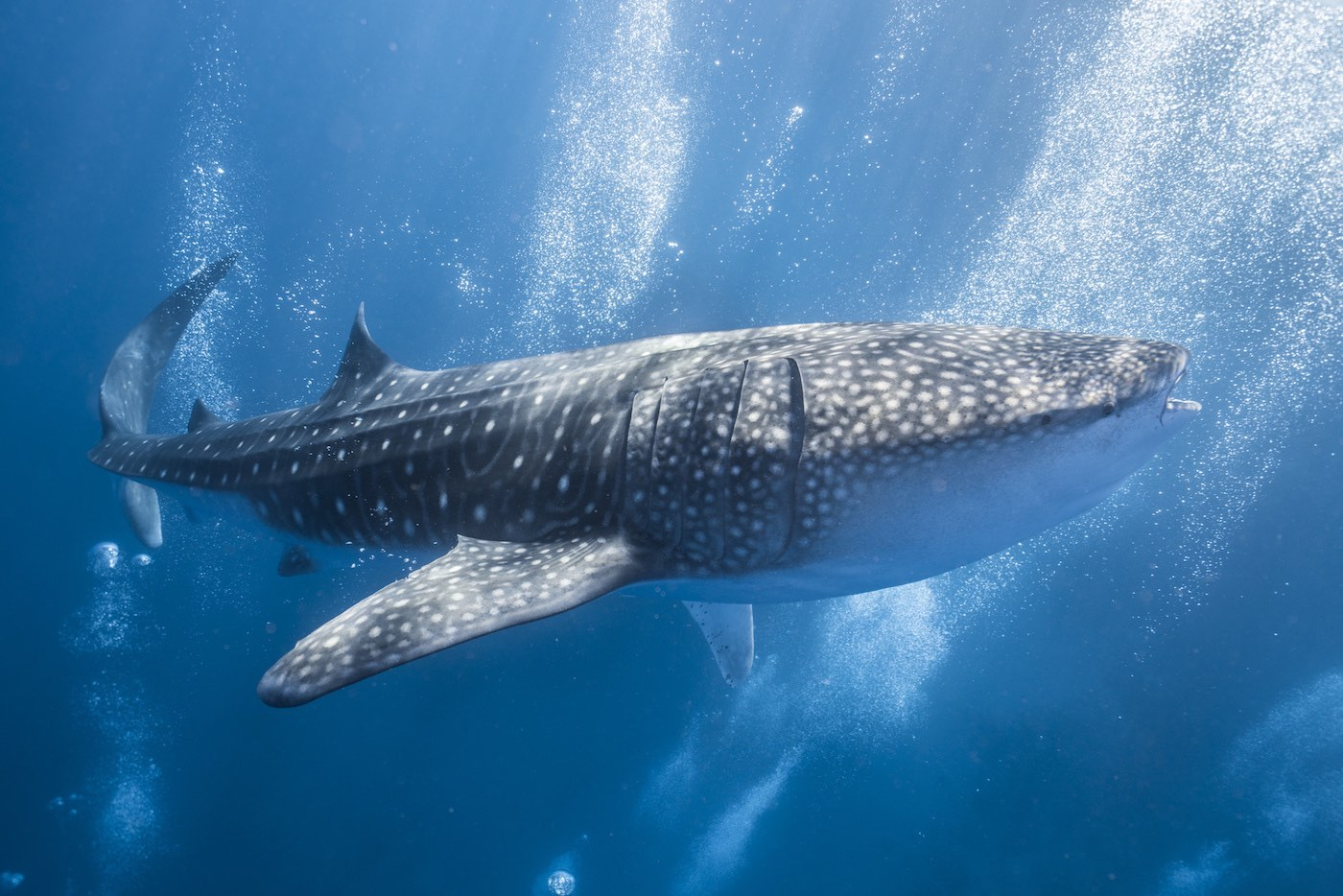 Swim With The Whale Sharks by Dolphin and Whales Travel and Tours