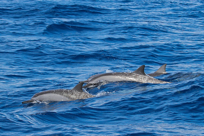 Spinner Dolphins - Whale-Watching in Puerto Princesa